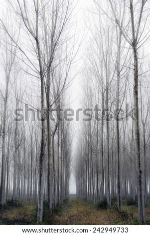 Vertical Panorama. Trees in a forest with fog, winter - stock photo