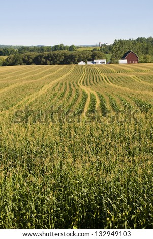 Vertical photo a large cornfield with the farm building in the background. - stock photo
