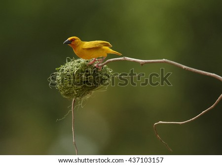 Vertical photo of exotic bird, Eastern golden weaver, Ploceus subaureus building its nest from grass fibers. Bright yellow bird is busy by weaving its nest, hanging on twig. Tanzania, Zanzibar. - stock photo