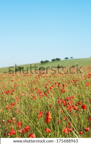 Vertical photograph of a wild red poppy field in a countryside landscape on a bright Summer day in July , with tree topped grassy hill in the background against a blue sky. - stock photo