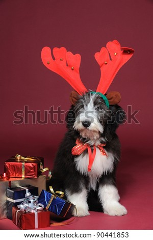 Vertical portrait of a bearded collie puppy with reindeer antlers sitting next to wrapped colorful gifts against red background looking at the camera - stock photo