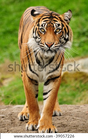 Vertical portrait of a Royal bengal tiger - stock photo