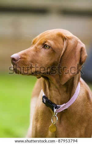 Vertical shot of a Hungarian Vizsla dog.  This is a female puppy wearing a pink collar and id tag. - stock photo