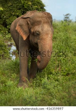Vertical wildlife photo of  Sri Lankan Elephant, Elephas maximus, coming out of the woods of UdaWalawe national park, Sri Lanka.  - stock photo