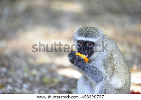 Vervet monkey (Cercopithecus aethiops) eating a piece of a stolen orange  in Kruger National Park. Monkeys, baboons etc soon become acclimatized when fed scraps by humans. conflict becomes inevitable. - stock photo