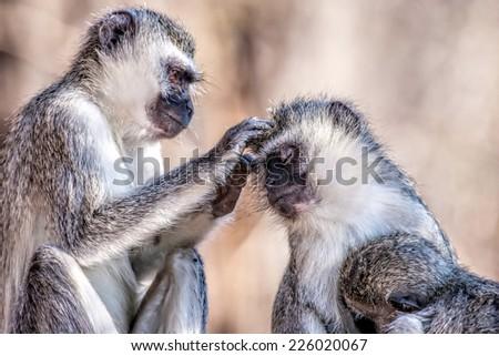 Vervet monkeys (Chlorocebus pygerythrus) in Kruger National Park, South Africa - stock photo