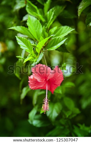 very beautiful hibiscus flower in a Sri Lankan Garden, luminous colors in luscious green. Waterdrops pearls from the flower after a monsoon rain. - stock photo