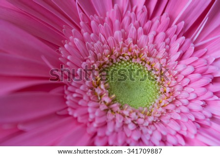 very beautiful pink gerbera photographed close up  - stock photo