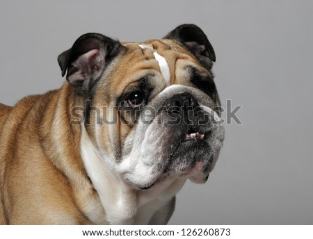 very beautiful, smart and funny dog in studio - stock photo