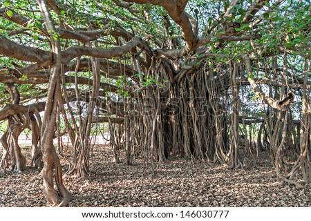 Very big banyan tree in the jungle - stock photo