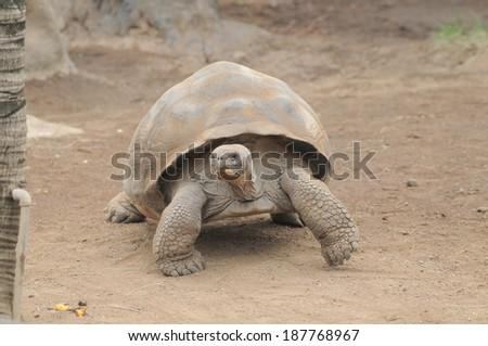 Very Big Brown Tortoise on a Brown Floor - stock photo