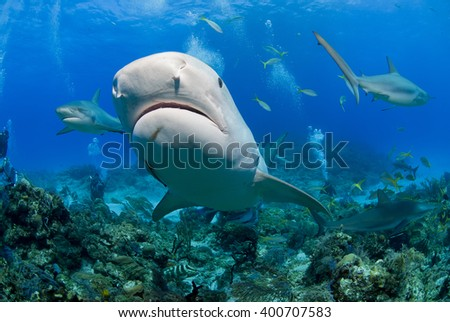 Very close tiger shark head shot from below in clear blue water with caribbean reef sharks in the background. - stock photo