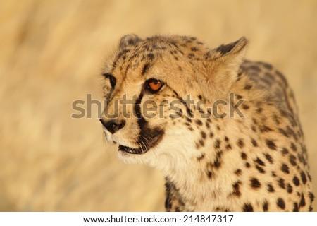 Very closeup of cheetah. Africa. Namibia. - stock photo
