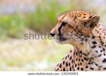 Very closeup of cheetah. Africa. Namibia. Cheetah head. - stock photo