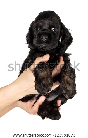 Very cute American Cocker spaniel puppy on women's hands. Isolated on white background. - stock photo