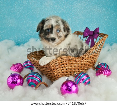 Very cute Australian Shepherd sitting in a sled with snow and Christmas decor around her, on a blue background. - stock photo