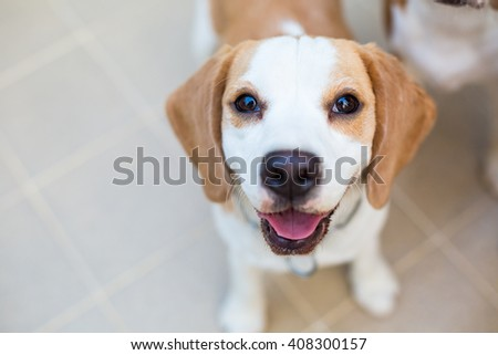 Very cute Beagle dog smiling portrait - close up - stock photo