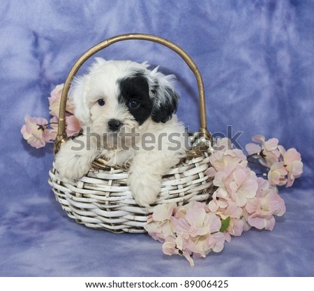 Very cute black and white puppy sitting in a basket with pink flowers on a purple background. - stock photo