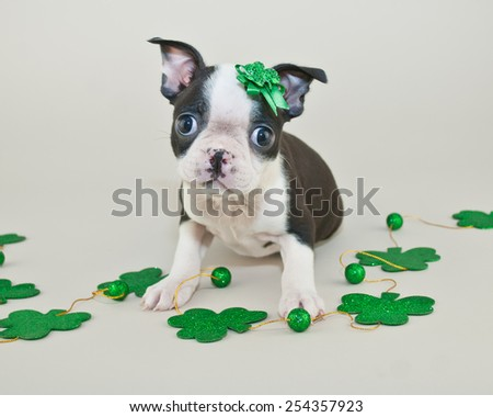 Very cute Boston Terrier puppy wearing a green bow sitting with four leaf clovers around her. - stock photo