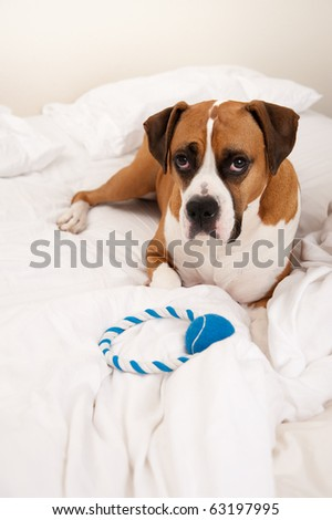 Very Cute Boxer Mix Dog Sleeping in Owners Bed with Blue Rope Toy - stock photo