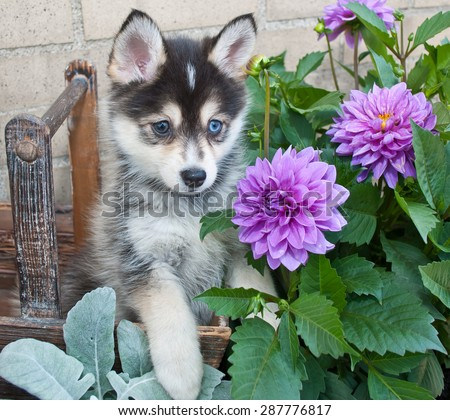 Very cute Pomsky puppy sitting in a basket outdoors with flowers around her. - stock photo