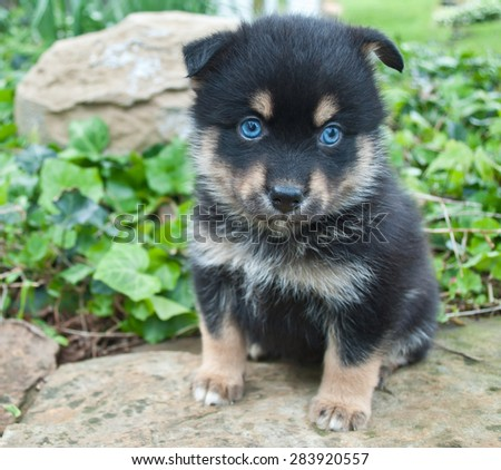 Very cute Pomsky puppy sitting on a rock outdoors with very blue eyes. - stock photo