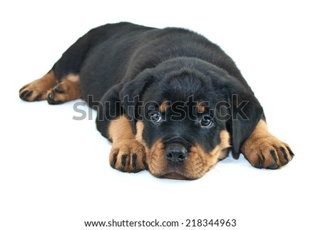 Very cute Rottweiler puppy laying down with a sleepy look on her face, on a white background. - stock photo