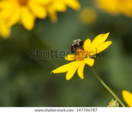 Very Detailed Bumble Bee on Yellow Flower - stock photo