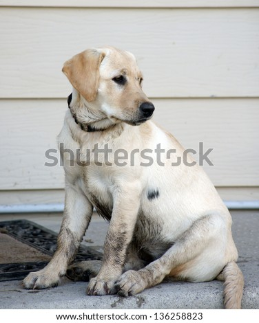 Very dirty yellow lab / retriever puppy sits on the steps ready to come into the house - stock photo