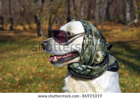 very fashionable dog. Golden Retriever in a silk scarf and sunglasses. - stock photo