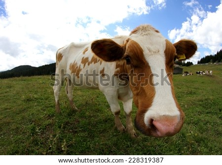 very funny cow shot with fisheye lens in the mountains - stock photo