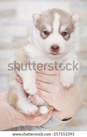 Very little puppy Siberian husky. Portrait of sitting on the floor puppy age of 20 days. - stock photo