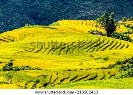 Very nice golden rice terraces on top of a hill. Location: Y Ty, Lao Cai province, Vietnam.  - stock photo
