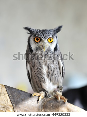 very nice little owl - stock photo