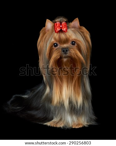 Very nice Yorkshire Terrier with red bow and accurately groomed hair sits on black isolated background                                - stock photo
