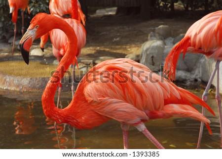 Very pink flamingos - stock photo