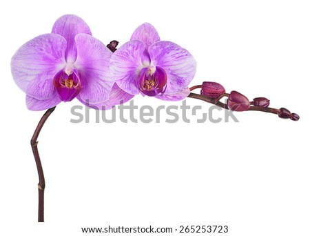 Very rare purple orchid isolated on white background. Closeup. - stock photo