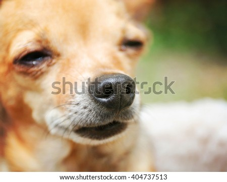 VERY SHALLOW DOF ON NOSE of a cute chihuahua in the grass outside in a park or backyard - stock photo