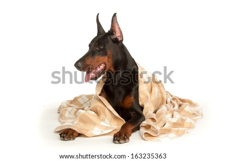 Very sick dog under a blanket, isolated on white - stock photo