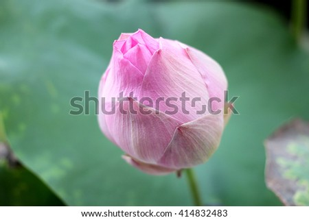 very soft focus of Pink lotus blossoms or water lily flowers blooming on pond - stock photo