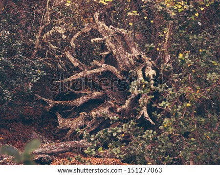 Very strange tree in the heart of the forest. - stock photo