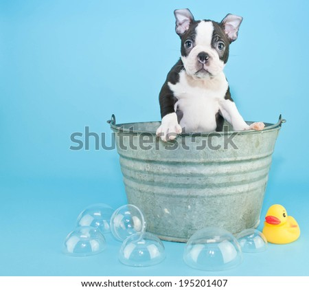 Very Sweet black and white Boston terrier puppy in a bath tub with a cute look on his face.  With bubbles and a rubber ducky on a blue black ground. - stock photo