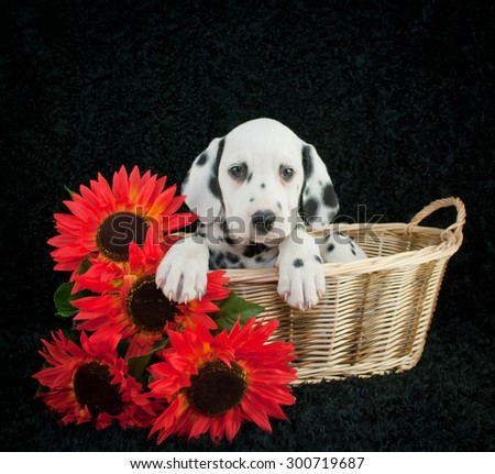Very sweet Dalmatian puppy laying in a basket with sunflowers beside her, on a black background. - stock photo