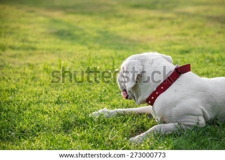 Very tired white dog lying on green grass under sunset - stock photo