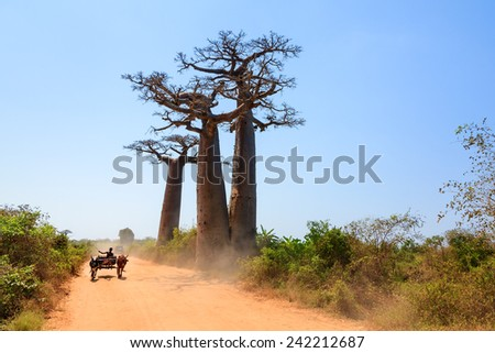 Very typical image of a Malagasy man with his Zebu car on the road with Baobab trees in Madagascar - stock photo