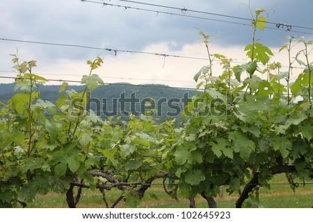 Very Vine Mountain - stock photo