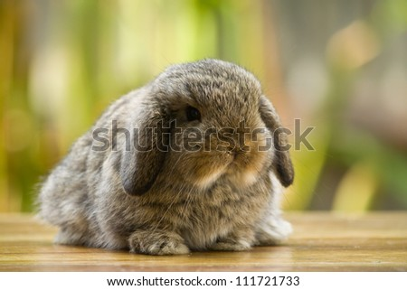 Very young holland lop rabbit sitting on wood floor in the garden - stock photo