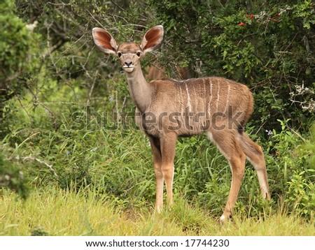 Very young Kudu calf looking at the camera. - stock photo