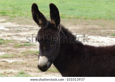 Very young mule baby - stock photo