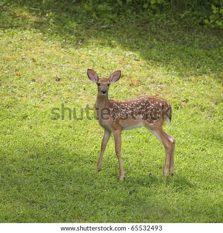 very young whitetail deer that is standing in a grassy clearing - stock photo